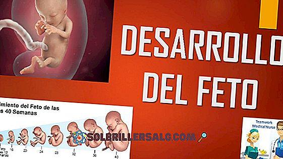 مراحل التطور الجنيني والجنيني