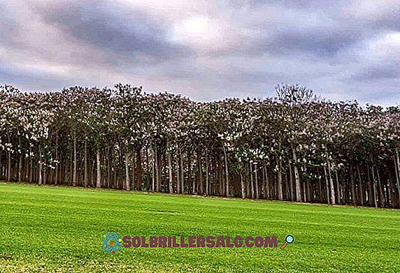 Kiri träd: egenskaper, habitat, egenskaper, tillväxt