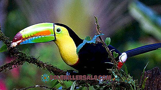 Toucan: özellikleri, habitat, türleri, yok olma tehlikesi, beslenme