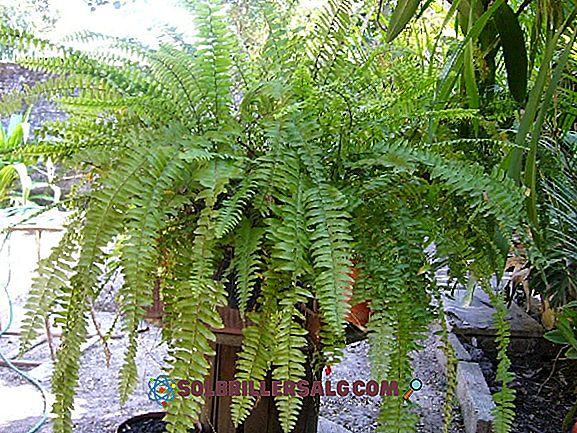 Plantae Kingdom (Vegetable): caratteristiche, classificazione, esempi