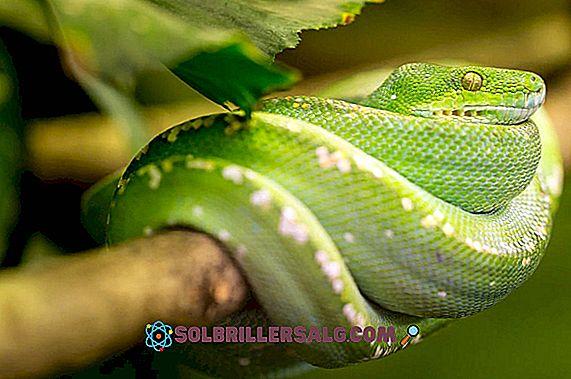 Iguane: caractéristiques, espèces, habitat, reproduction, alimentation