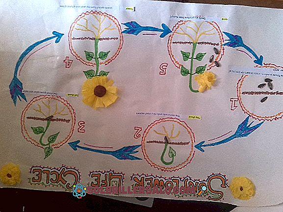 Цикълът на слънчогледа за деца и възрастни (с изображения)