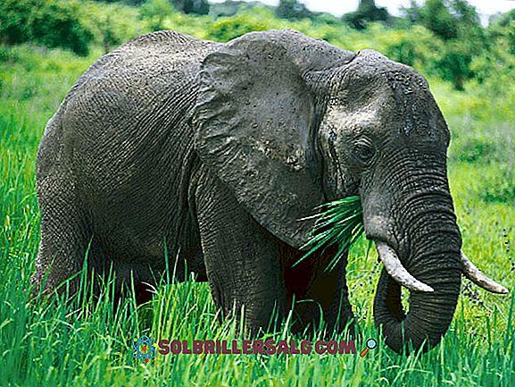Jaguar: evoluzione, caratteristiche, habitat, riproduzione