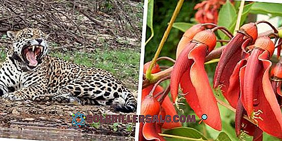 El Yaguareté – Panthera onca