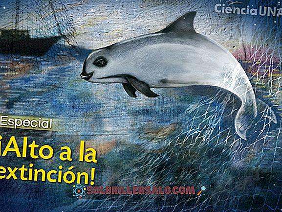 Vaquita marina (Phocoena sinus): características, habitat, reprodução