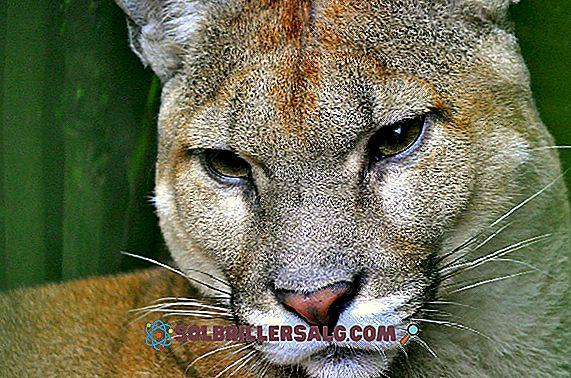 Puma concolor: Eigenschaften, Einstufung, Aussterbungsgefahr, Lebensraum