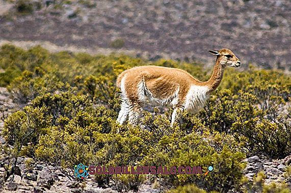 Fauna Arequipy: najbardziej reprezentatywne gatunki