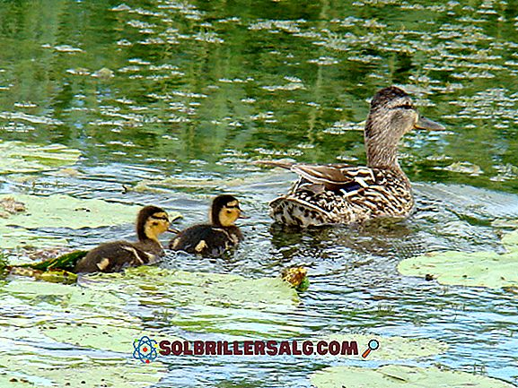 Gėlo vandens ekosistemos: savybės, augmenija, fauna