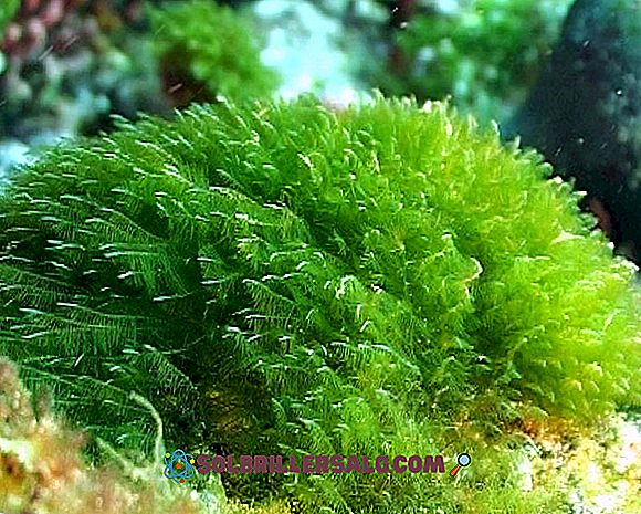 Зелени водорасли: характеристики, местообитания, видове и лечебни свойства