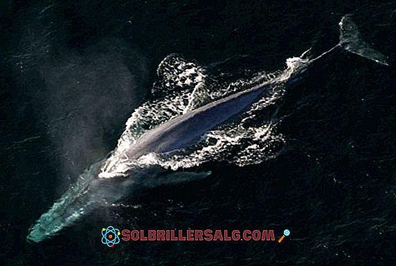 išsaugoti banginiai svorio prarasti ar numesiu svorio dėl rezginio