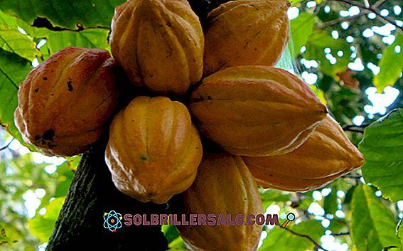 Какво представлява какаовият бум на Еквадор?