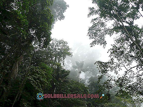 Vegetation av Chiapas: Typer och egenskaper
