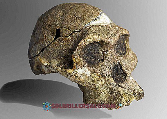 Paranthropus Robustus: Egenskaper, Cranialkapacitet, Habitat