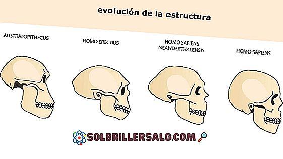 Homo erectus: Ursprung, Charakteristik, Fütterung, Schädelkapazität