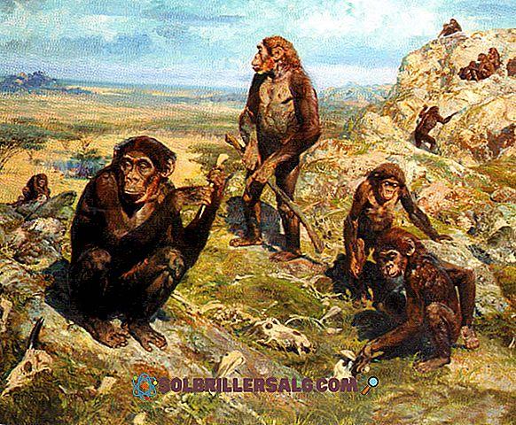 Australopithecus Afarensis: savybės, buveinė, maistas
