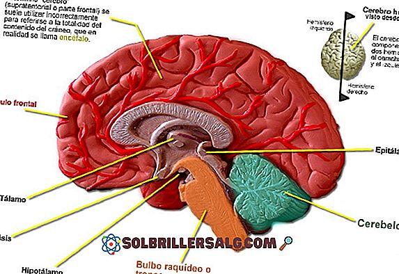 Hjernestammen: Funksjoner, Deler og Anatomi (med bilder)